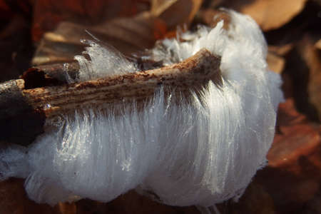 An unusual natural phenomenon - mysterious hair ice on wood looks like angle hair. The fungus Exidiopsis effusa is responsible for this crystallization process.