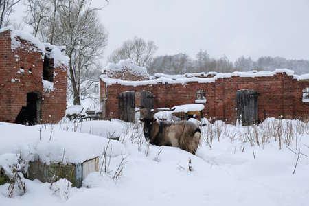 Goat with big horns at ruined farm in snowy winter scenery.