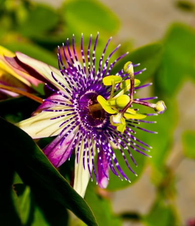Passion flower has a beautiful flower and you have a medical benefit photo