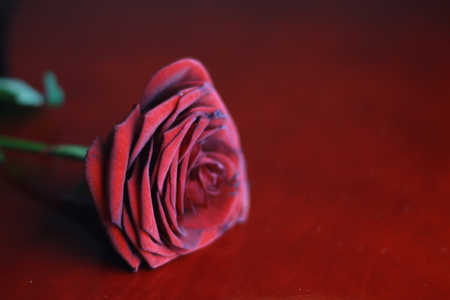 Red rose on red background Stock Photo