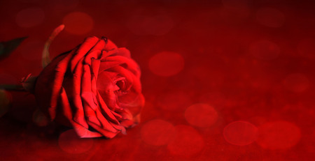 Love background. Valentines day card. Red rose on a red background.