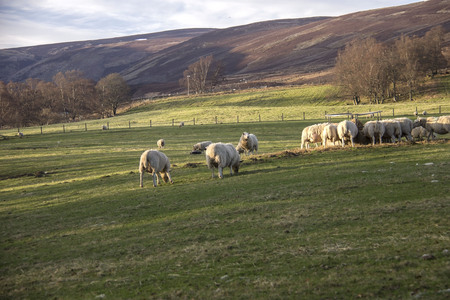 Sheep grazing in the meadow. Aberdeenshire, Scotland, UK