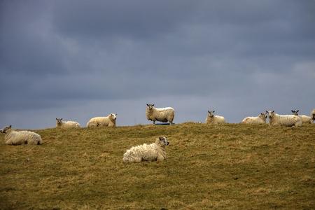 Sheep grazing in the meadow. Aberdeenshire, Scotland, UK