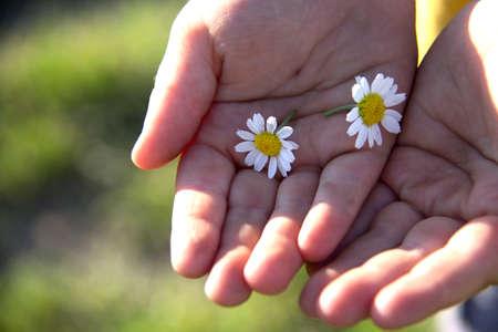 Children's hands holding daisy flowers Reklamní fotografie
