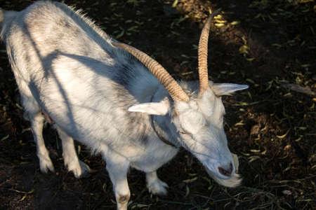 Portrait of a white goat.