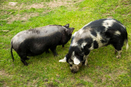Black pigs grazing in the meadow.