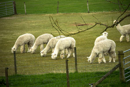 Lambs grazing in the meadow.
