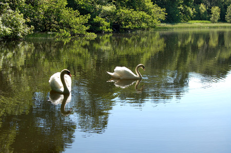 Pair of Mute Swans on a small Scottish pond in bright summer sunshine photo