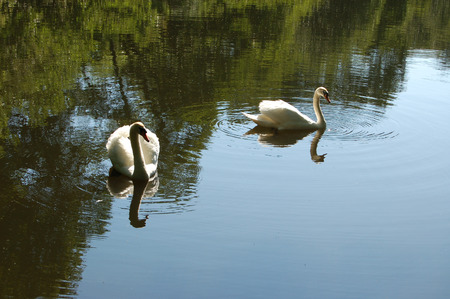 Pair of Mute Swans on a small Scottish pond photo