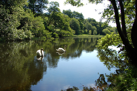 Pairof Mute Swans on a small Scottish pond in bright summer sunshine photo