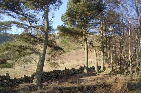 drystone: Pine trees and an old drystone wall in the Fintry Hills Scotland