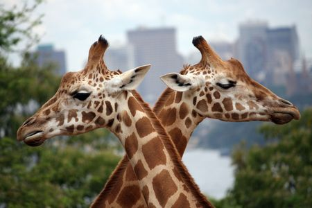 Two giraffes forming an x as they pass.