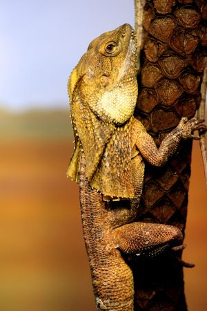 desert lizard: Frill Necked lizard on a tree Stock Photo