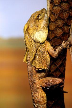necked: Jabot hals hagedis op een boom