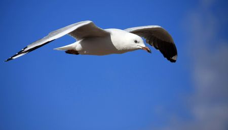 sea gull soaring high on the wind Stock Photo