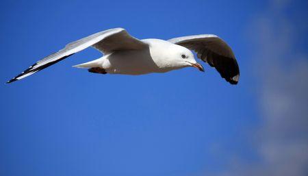 sea gull soaring high on the wind Stock Photo