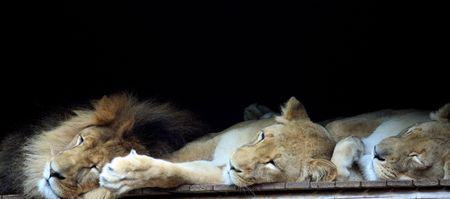 tonight: The lions sleep tonight