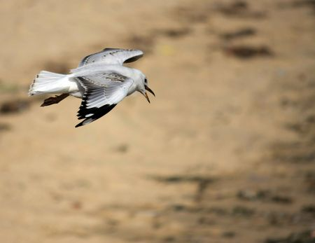 sea gull searching for food over sand dunes Stock Photo