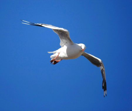 sea gull looking at camera, in flight Stock Photo