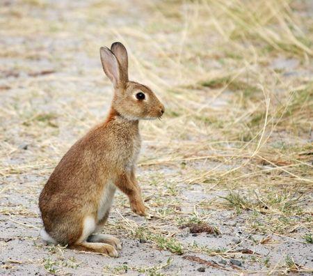 A vigilant wild rabbit at the beach