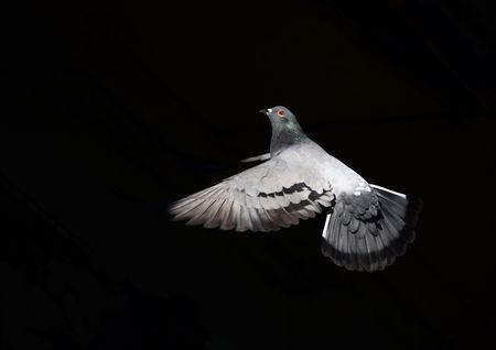 Taube in Flug vor einem schwarzen Hintergrund