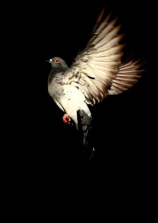 pigeon in flight against a black background