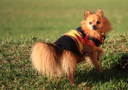 small sable pomeranian dog with winter coat