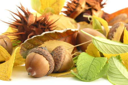 fall: acorn photo