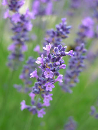 lavender Stock Photo - 302268
