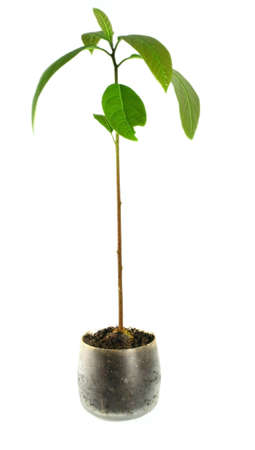 avocado plant Stock Photo - 332624