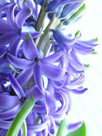 hyacinth Stock Photo - 483432