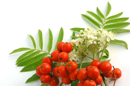 european rowan: Ripening European Rowan berries Stock Photo