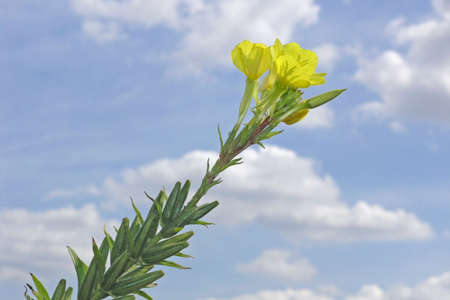 evening primrose (blue sky in background) photo