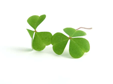 fortunateness: fresh, green clover isolated on white background