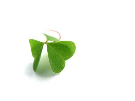 cloverleafes: fresh, green clover isolated on white background