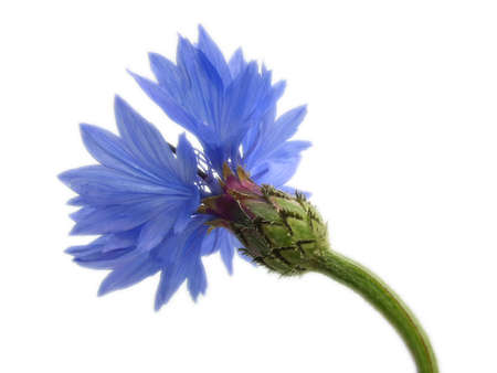 cornflower: Cornflower isolated on white