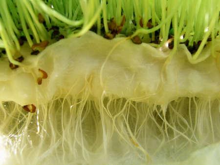 watercress - roots photo