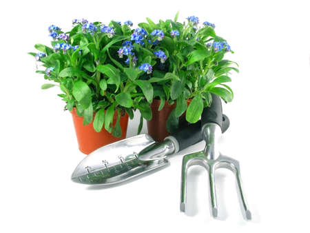 forget-me-not seedling in pot isolated on white background photo