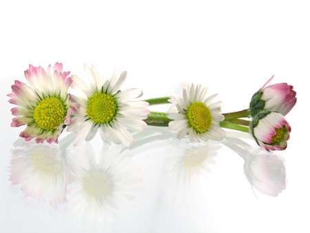daisys: delicate, beauty daisy in springtime isolated on light background