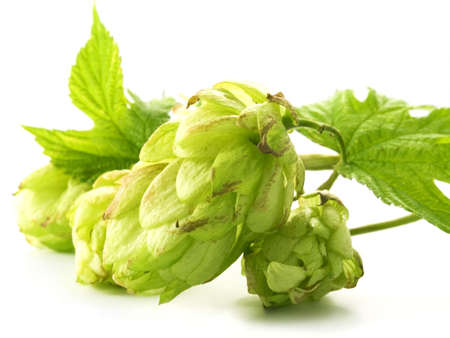 close-up of fresh, green hop isolated on white background Stock Photo