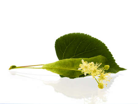 Branch and fruits of lime blossom isolated in a white background