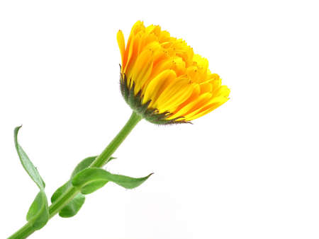 series of flowers: marigold on white background Stock Photo