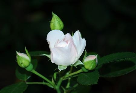 knospe: Rose