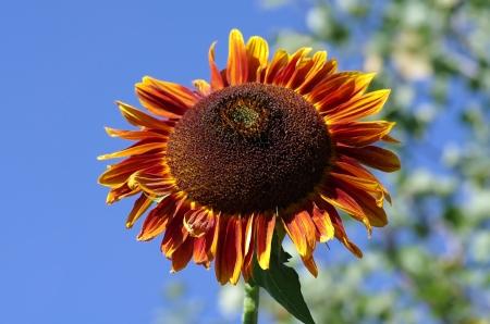 pflanze: Sonnenblume