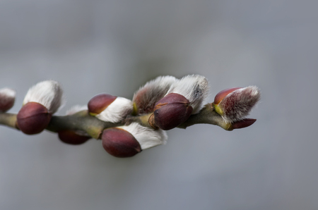 pussy willow: pussy willow catkin