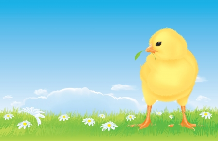 er free range chick on the spring meadow. Realistic and detailed illustration of the cute little yellow chick on a flourish meadow  Green grass with daisy flowers  Beautiful bright blue sky with a few white clouds  Illustration