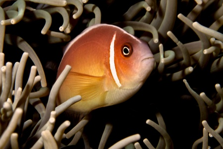 pink anemonefish: Pink Anemonefish Stock Photo