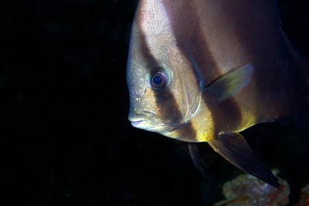 platax: Longfin Spadefish, UAE underwater, Indian Ocean