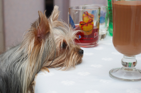 requests: Yorkshire Terrier Requests treat Stock Photo