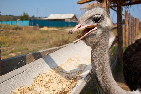 Ostrich pecking grain on the farm Stock Photo